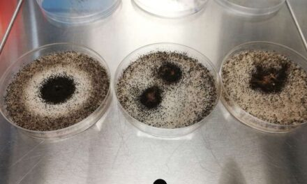 Crean biomaterial antibacteriano y antifúngico derivado del champiñón