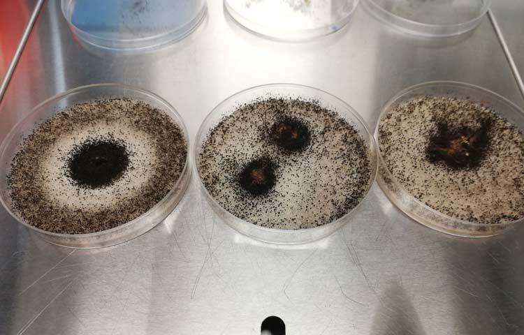 Biomaterial antibacteriano y antifúngico derivado del champiñón